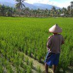 Pemupukan Lahan Kelompok Tani desa Baluase