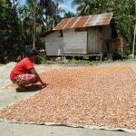 Kelompok Coklat Desa Wisolo Mulai Panen