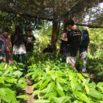 Pelatihan Sambung Pucuk Kakao desa Jono